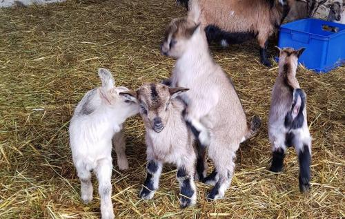 janvry-animaux-chevreaux