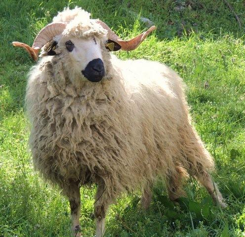 janvry-animaux-mouton