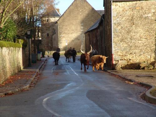 janvry-animaux-rue-vaches