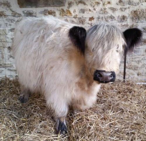 janvry-animaux-vache-julie